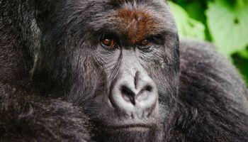 Silverback Mountain Gorilla, Democratic Republic of Congo