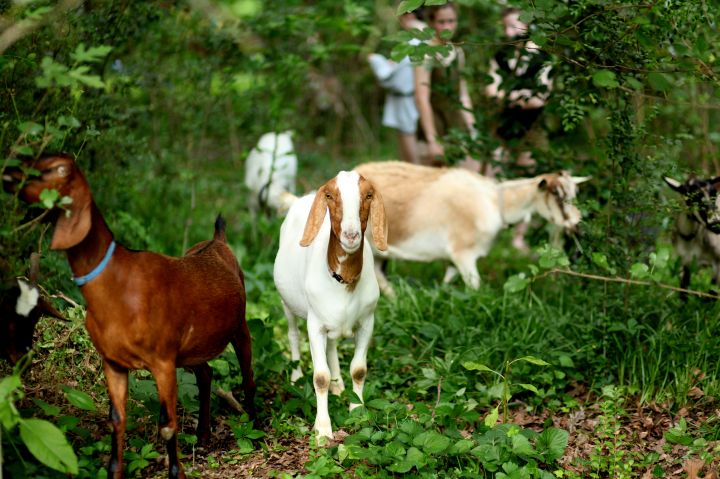 For clearing underbrush, get your goat